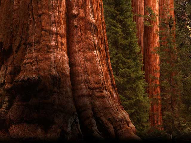 Sequoias Jigsaw Puzzle